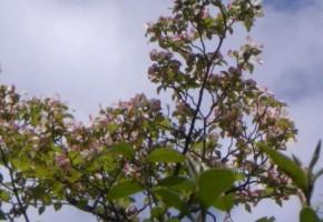 淡い紅系の花水木の花