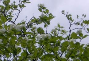 花水木の白い花